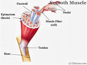 What Are The Smooth Muscles In Our Body – craftbrewswag.info
