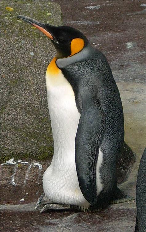 King Penguin  Rzss Blog
