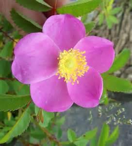 Wrinkled Rose Forageporage's Blog