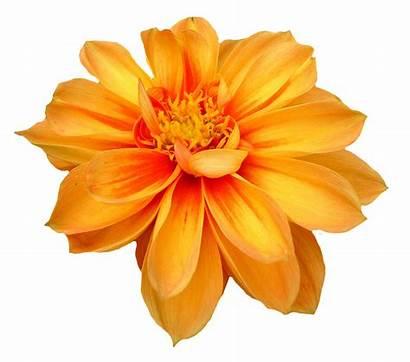 Flower Dahlia Transparent Pngpix Resolution Format