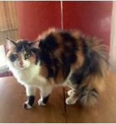 Fluffy Calico Cat cali...Fluffy Dilute Calico Cat