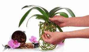 Luftwurzeln Bei Orchideen : orchideen experten tipps zu kauf standort pflege ablegern plantura ~ Frokenaadalensverden.com Haus und Dekorationen