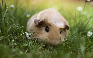 Guinea Pig Wallpapers - Wallpaper Cave