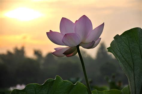 breaking through the pain a lotus must grow in the mud