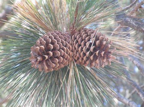 giant pine cones everywhere