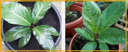 memperbanyak anthurium daun cara setek batang dan semai biji anthurium tanaman bunga