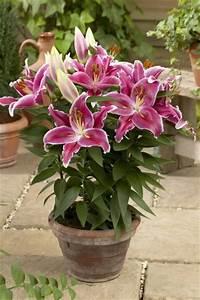 Lilie Topfpflanze Kaufen : lilien kaufen lilien lilium kaufen alles zur pflege ~ Lizthompson.info Haus und Dekorationen
