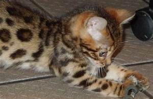 Baby kittens for Free | Exotic Bengal cats and Gold Bengal ...