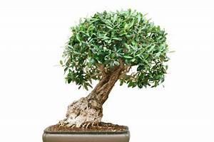 Ficus Bonsai Schneiden : gummibaum als bonsai erziehen so machen sie 39 s richtig ~ Indierocktalk.com Haus und Dekorationen