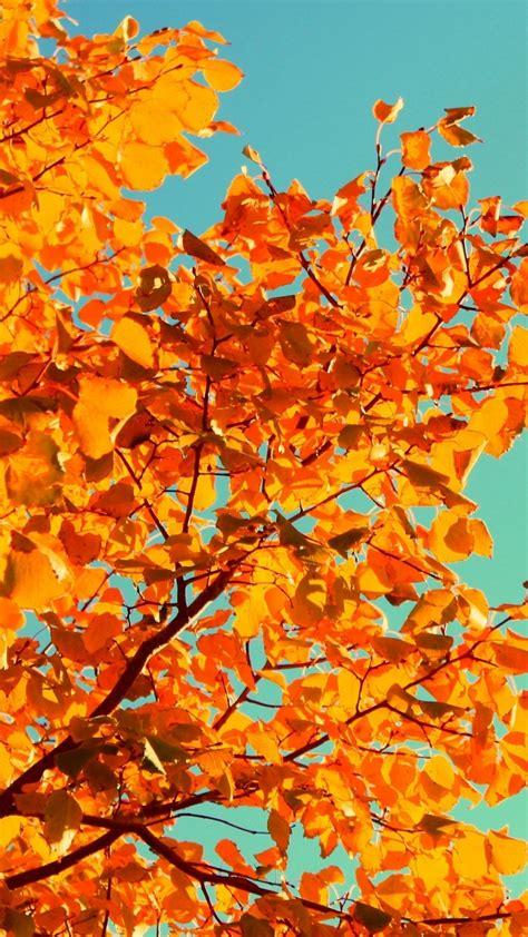 wallpaper tree   wallpaper sky autumn yellow
