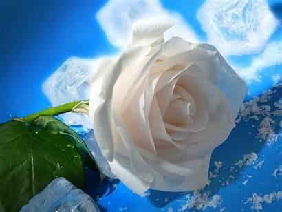 Rose Wallpapers Backgrounds Desktop Roses Flowers Flower