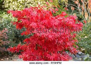 Roter Japanischer Ahorn : acer palmatum osakazuki japanischer ahorn rote bl tter im herbst herbstliche farbe farben laub ~ Frokenaadalensverden.com Haus und Dekorationen