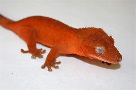 Halloween Crested Gecko Morph by The Joys Of Reptile Keeping And Awesome Reptiles Crested