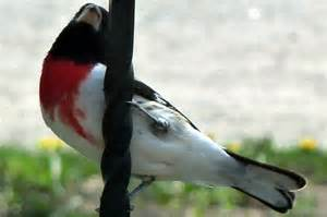 Song Birds of Minnesota Identification