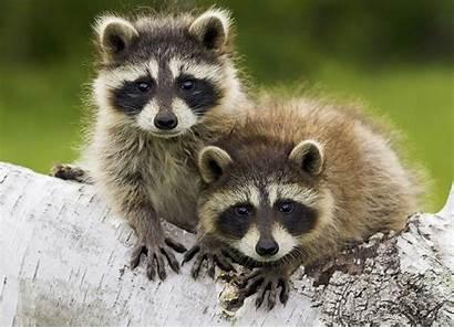 Critters Raccoons Animals Dog Racoon Animal Raccoon