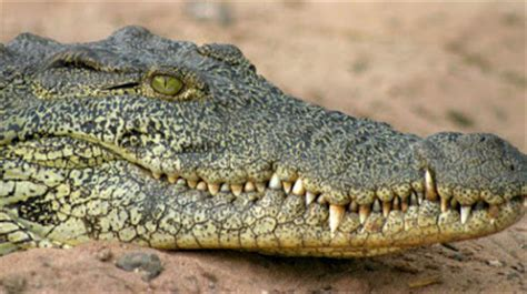 pulitissima il coccodrillo