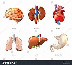 Human Internal Organs Anatomy Cartoon Vector Stock Vector