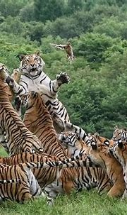 Breathtaking photographs show Siberian tigers chase a ...
