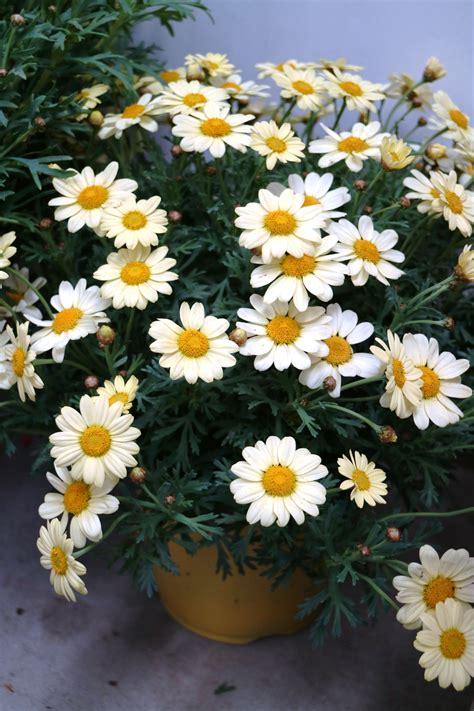 margherite in vaso vaso di margherite fiori e giardino garden e plants