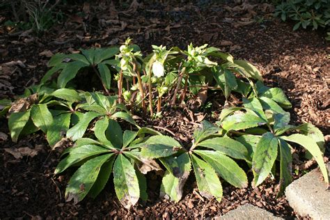 how to plant hellebores image gallery helleborus orientalis plants