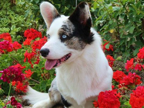 A Tail... And More! 8 Things You Didn't Know About The Cardigan Welsh Corgi