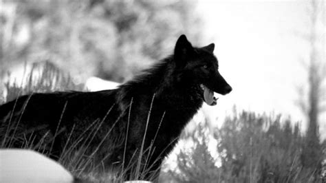 Angry Wolf Wallpaper Black by Black Wolf Wallpapers High Quality Free