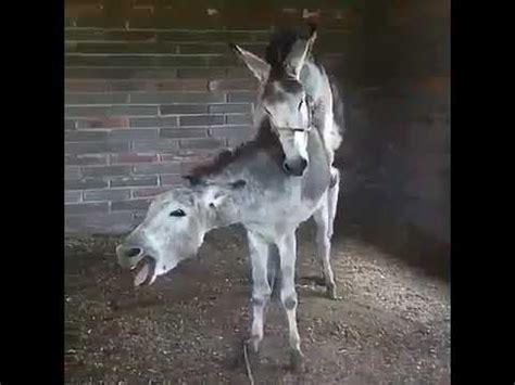 el burro doovi