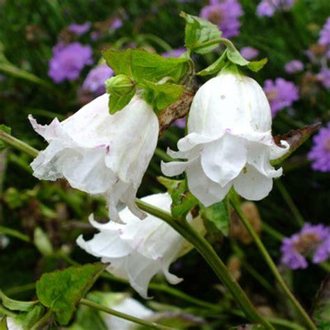 campanula bellflowers  detail dorset perennials