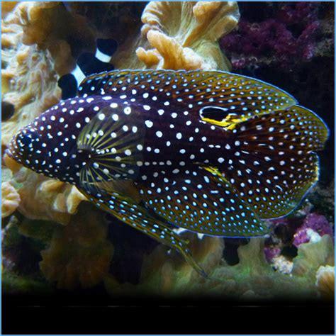 betta marine fish grouper comet coney saltwater aquarium coral panther