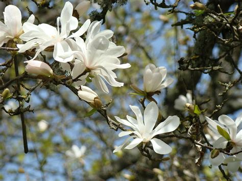 magnolia tree white flowers office art prints magnolia tree flowers landscape 15 giclee prints baslee troutman photograph by