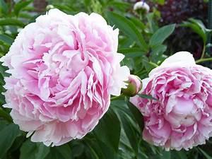 Pfingstrose Sarah Bernhardt : datei paeonia lactiflora 39 sarah wikipedia ~ A.2002-acura-tl-radio.info Haus und Dekorationen
