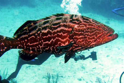 grouper overfishing think academy tasty quickly dish might could change menu