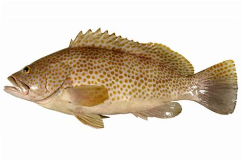 epinephelus species prev
