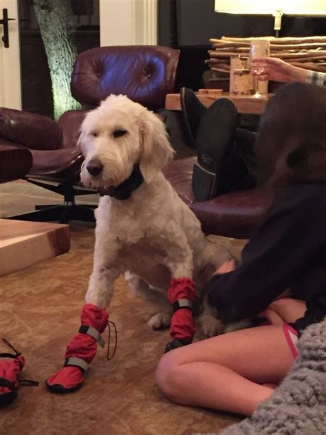 Goldendoodle Wears Tall Booties For Snow