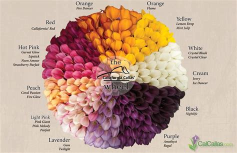 calla colors calla flower colors calla color wheel