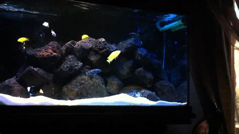 cichlid fish tank 50 gallon with lava rock youtube