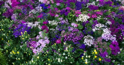 purple flowering perennial ground cover perennial flowering ground covers ehow uk