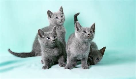 Do Russian Blue Cats Shed by Russian Blue Info Temperament And Personality Kittens