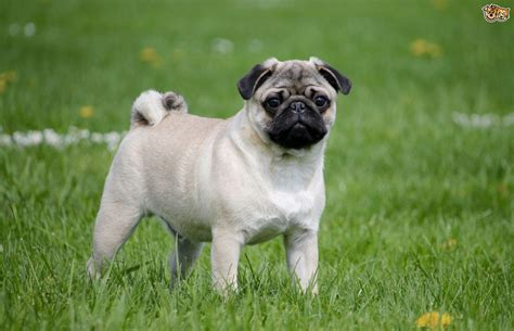 Pug Dog Breed Facts Highlights And Advice Pets4homes