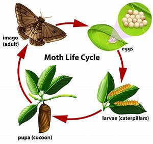 Moth Life Cycle Diagram