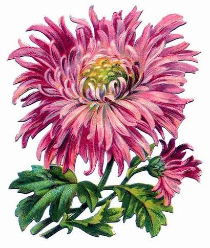 Chrysanthemum Clipart Pink Graphics Mum Fairy Clip