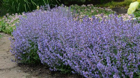 perennial shrubs sun 14 perennials for full sun hgtv
