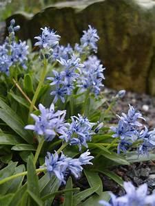 scille planter et cultiver ooreka With modeles de rocailles jardin 7 achillee planter et cultiver ooreka