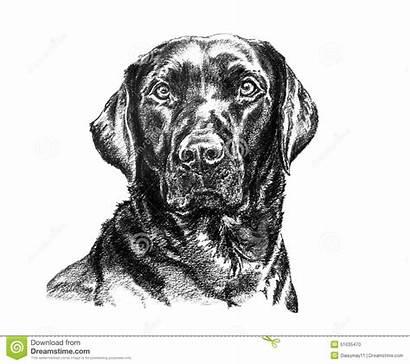Labrador Illustration Dog Drawing Head Charcoal Illustrations
