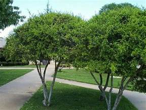 small evergreen shrubs zone 7 42 best small zone 7 trees images on pinterest shrubs zone 7 and shrub