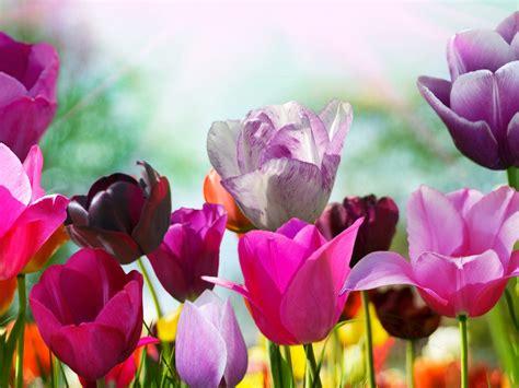 fondos de pantalla tulipanes de colores flores de