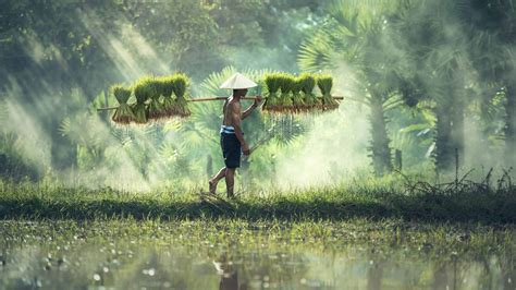 Cambodian Rice Farmer Uhd 4k Wallpaper Pixelz