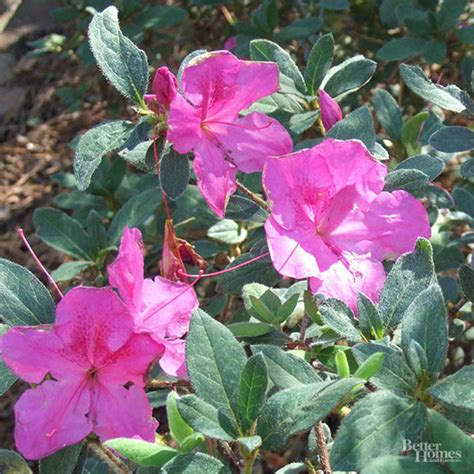 how fast do azaleas grow how fast do encore azaleas grow