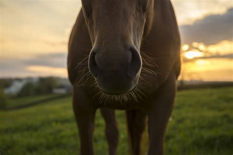 nose sunset horse horses texas whiskers against latest