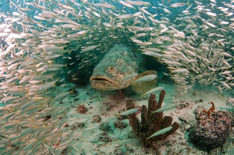 grouper goliath story sea comeback success atlantic goliaths facts florida marine habitat meeting species commercial fast updated conservation fsu stearns